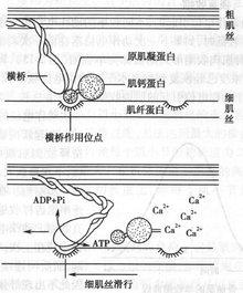 细肌丝滑行机制示意图