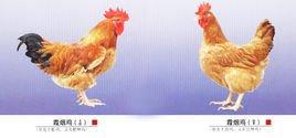 鸡年话鸡(80)——霞烟鸡 - hubao.an - hubao.an的博客
