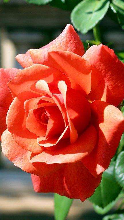 养眼唯美玫瑰花苹果手机壁纸