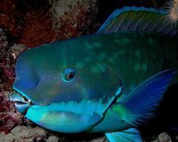蓝色曼龙鱼可以和地图鱼,鹦鹉鱼混养吗_360问