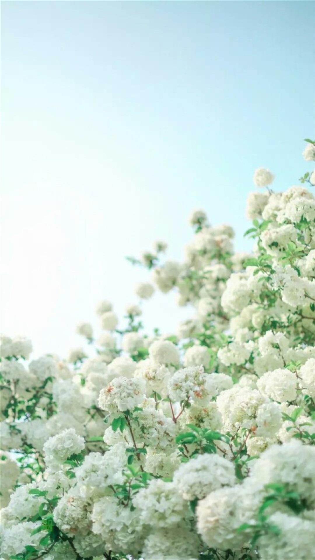 清新唯美的白色绣球花手机壁纸