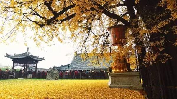 说起这棵银杏树也是大有来头,相传这曾是李世民1400年前亲手种下的
