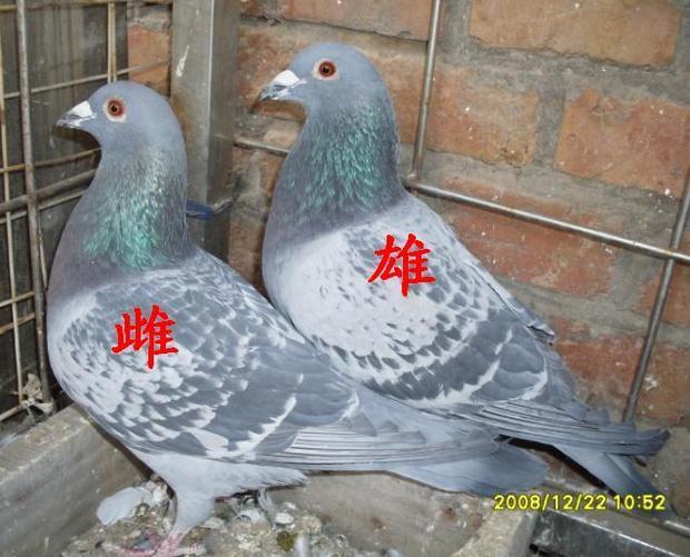 鸽子分辩公母图片