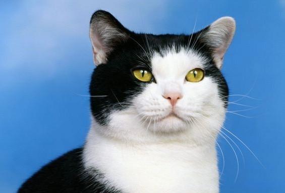 黑白相间的猫 中国叫奶牛猫 所谓奶牛猫就是平时所说的黑白花。因为看起来像奶牛,所以就这么叫。 奶牛猫是普通的家猫 (中华田园土猫种),都是属于杂交血统。很多的品种的猫因毛色的原因,杂交后都有可能生出黑白花来,所以现在的很多的奶牛猫具有一些贵族血统。 因为是杂交血统,奶牛猫的身价一般不脯不过它仍然深受人们喜欢。 外国叫黑白猫 英国猫咪品种,性格温顺,听话,非常适合饲养。 是长这样吗?