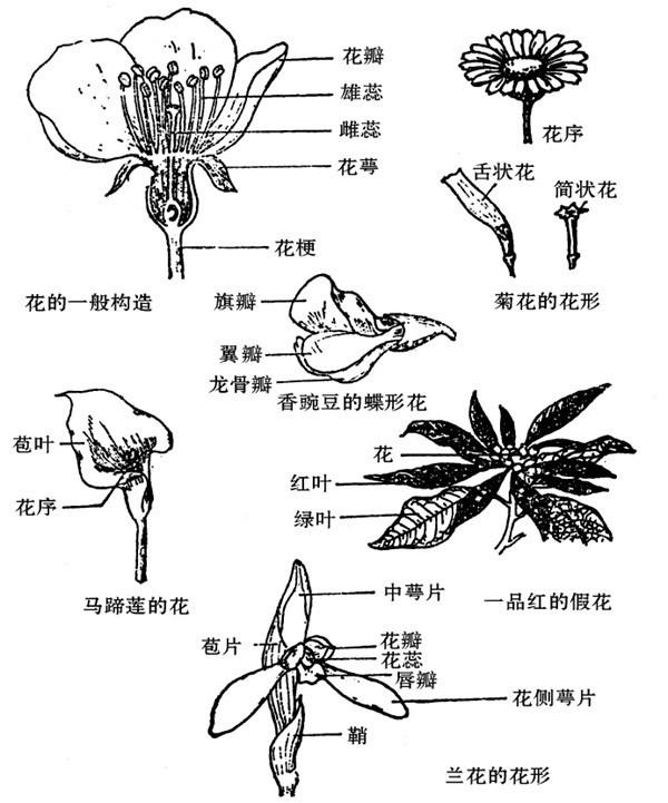 牵牛花的结构图画
