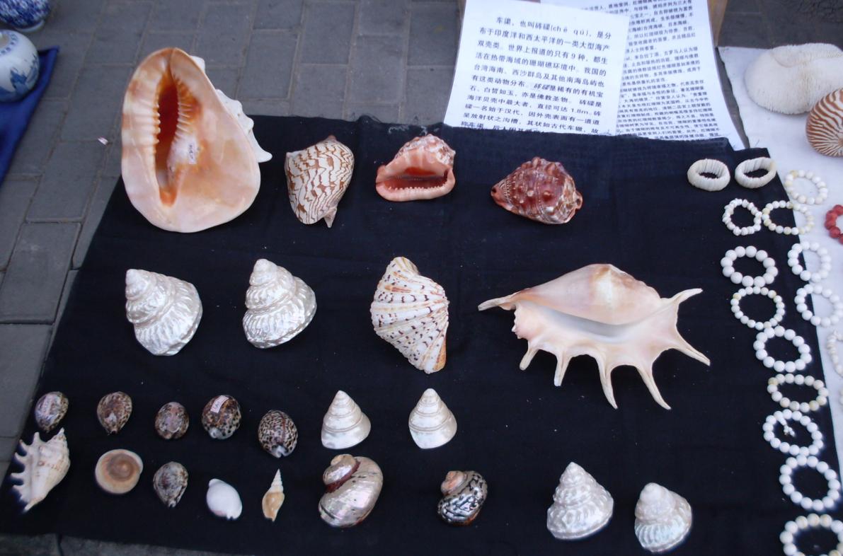 食用海螺的种类及图片