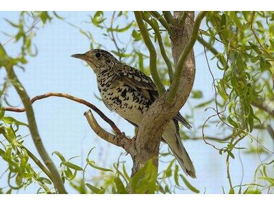 主要以昆虫和无脊椎动物为食,据我们在长白山通过成鸟胃的解剖和幼鸟