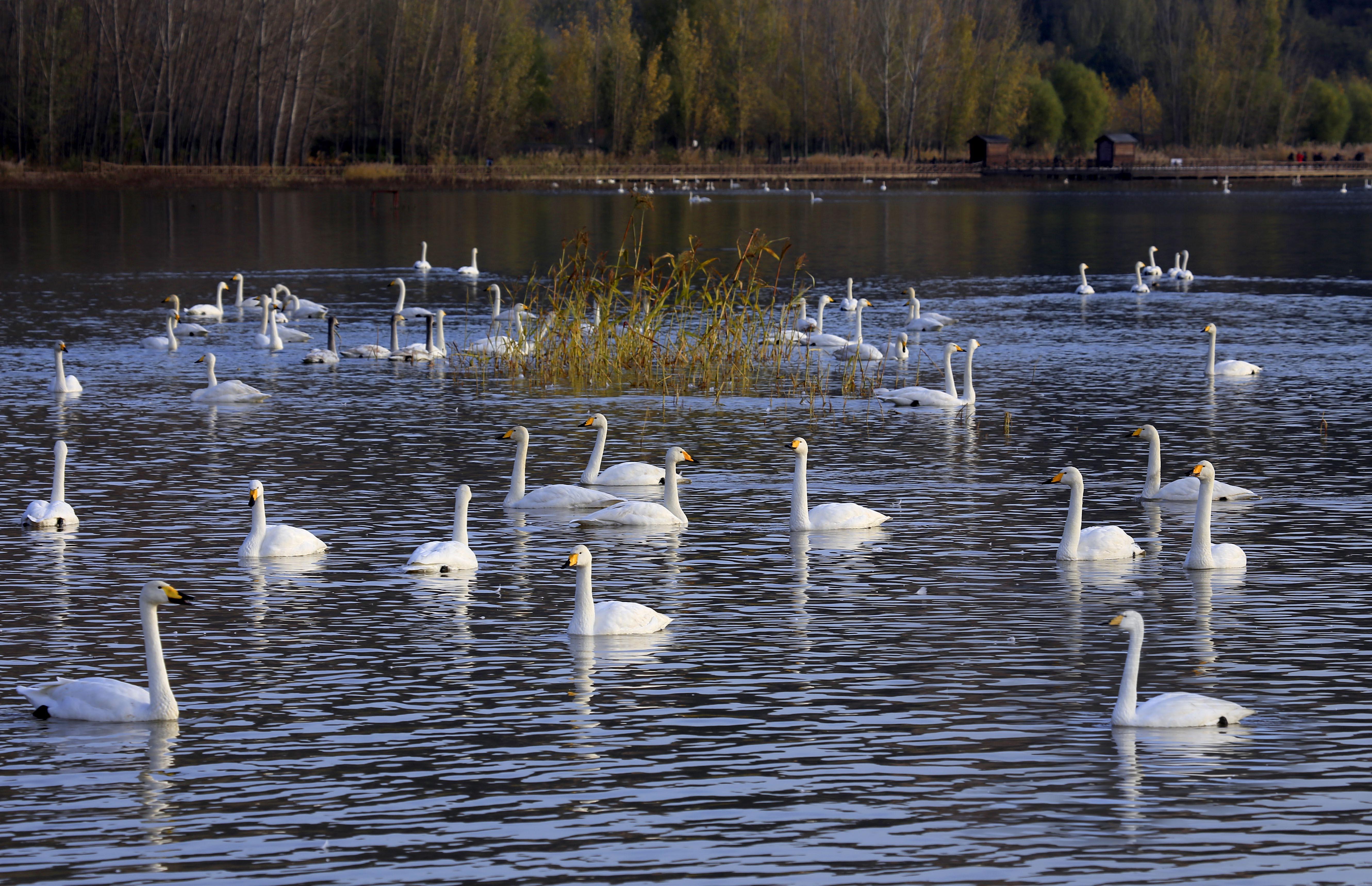 数千只大天鹅迁徙三门峡,平陆三湾大天鹅景区越冬