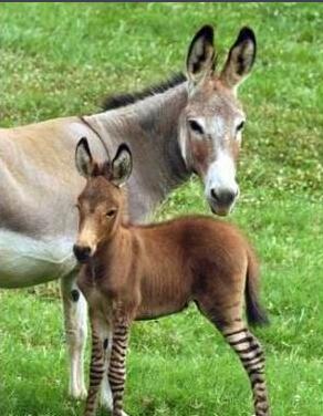 """2015年,宿迁动物园里,斑马和驴跨界""""相爱"""" 已有宝宝."""