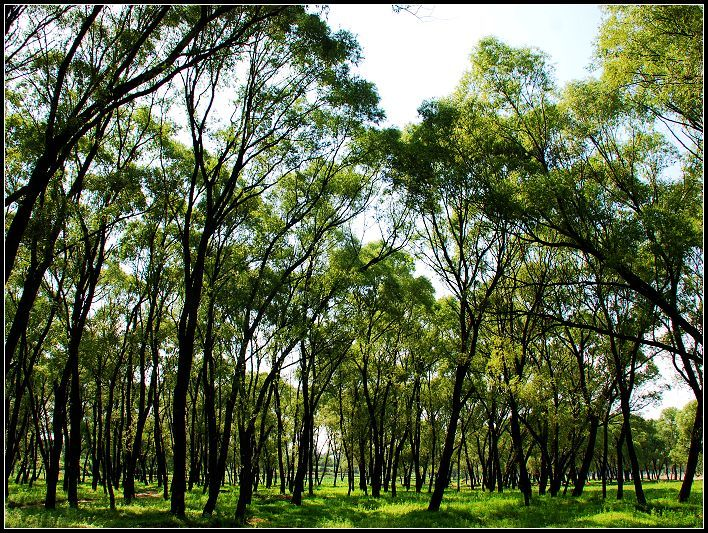 (图)柳树