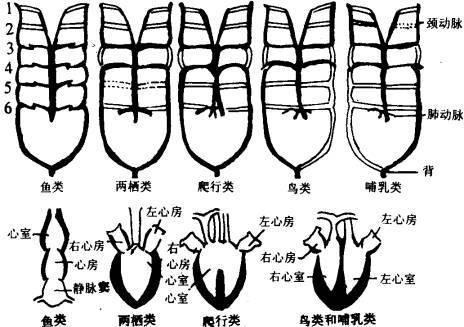 现代动物学从各个不同层次进行探索,近年来取得了较为广泛认同的脊椎