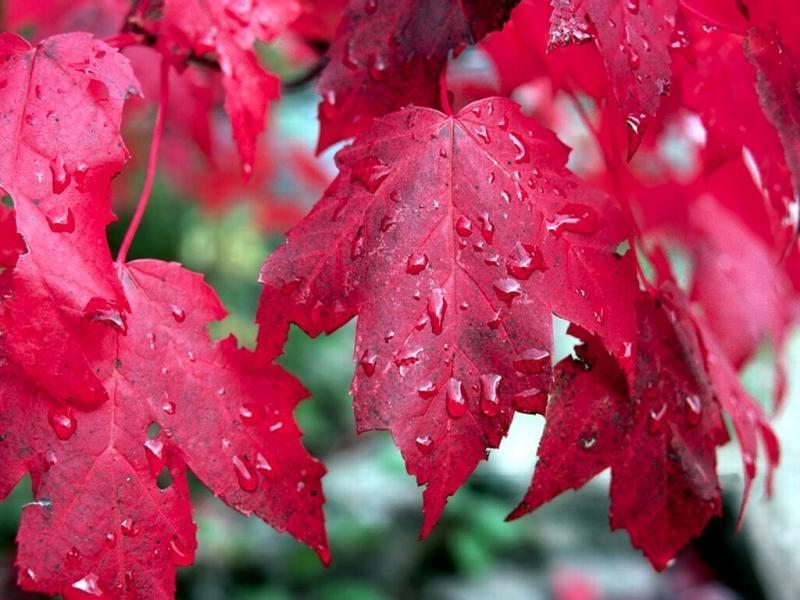 北京香山红叶(是黄栌树,并非枫树),自然能使人心旷神怡;若是没有那