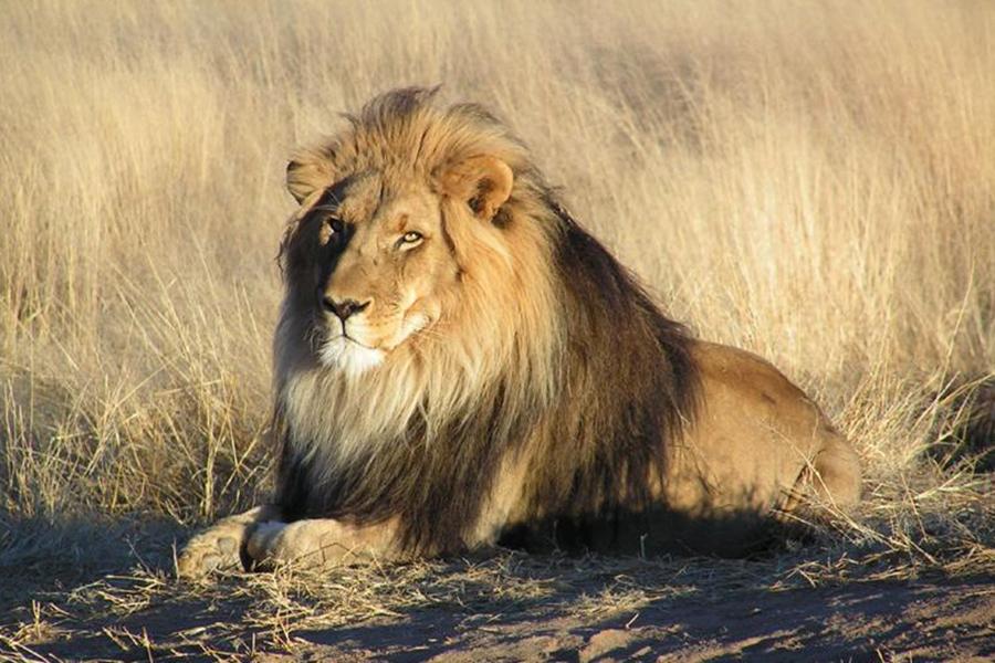 壁纸 动物 狮子 桌面 900_600
