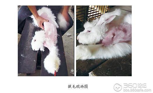 内地养殖场被指活揪兔子毛 兔子痛苦嚎叫